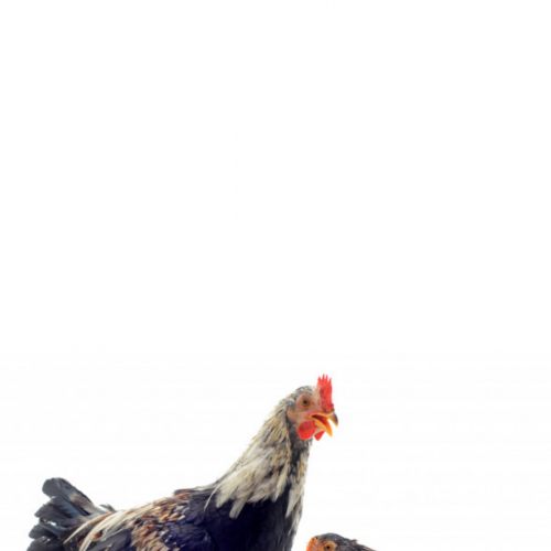 Ayam Broiler Disuntik Hormon? Aman Dikonsumsi Gak Sih?